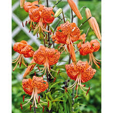 shop garden state bulb 4 pack tiger bulbs lw00528 at lowes