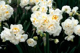 daffodil bridal crown floret recommend 2015 bulbs for 2016