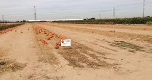 Kent City Pumpkin Patch by Gourds Gone Up To 375 Pumpkins Stolen From Buckeye Farm