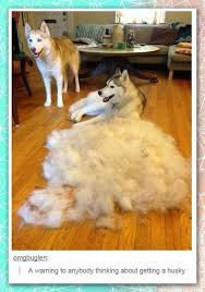 Do Malamutes Shed Hair by Which Husky Sheds The Least Pets Quora