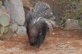 Porcupine Eats Pumpkin by Cape Porcupine The Living Desert