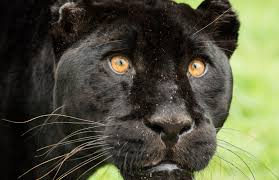 The meaning and symbolism of the word  Panther