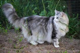 Do Maine Coons Shed In The Summer by Featherstream Daisyfluffyrabbit335 Animal Jam Clans Wiki
