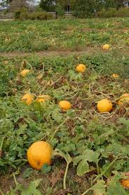 Tallahassee Pumpkin Patch by U Pick Pumpkin Patch