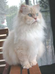 haired cat hair cat breeds