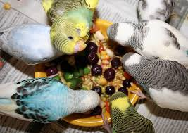 Parrot Caught Singing Bodies Hit The Floor by Budgie Parakeet Food And Feeding Recommendations