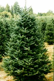 What Is The Best Christmas Tree by N C State Symbols By Carson Sacco