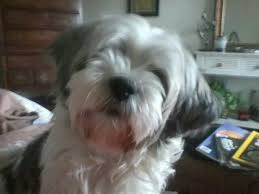 My Lhasa Apso Is Shedding Hair by Lucy My Best Friend Lhasa Apso My Lion Dog Lhasa Apso The