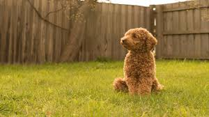 non shedding hypoallergenic hybrid dogs poodles oodles and more non shedding purebred and hybrid dogs
