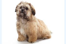 Shih Tzu Lhasa Apso Shedding by Meet The Shih Poo