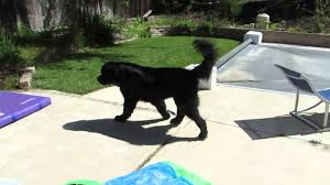 Do Newfoundlands Shed Hair by Clever Dog Finds Toddler Hiding In Backyard Youtube