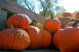 Pumpkin Picking In Ct by Apple Picking And Pumpkin Patches Pick Your Own In And Near