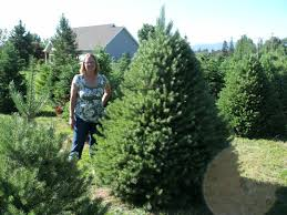 Ge Fraser Fir Christmas Tree by Copenhaver Plantations Choose And Cut Christmas Trees In