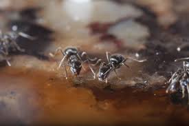 5 Ways to Get Rid Ants in the House Natural and Conventional