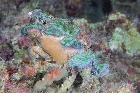decorator crabs eat fish decorator crab sea sponge symbiosis project thinglink