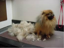 My Dog Stinks And Sheds A Lot by My Dog Is Losing Hair U2026help Bathing U0026 Shedding U2014 Canine Skin Solutions