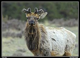 do the elk lose their antlers every year the answer is yes the