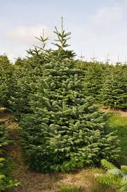 8ft Christmas Tree Uk by Real Christmas Trees For Sale Online And Delivered Send Me A