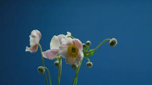 fleur floraison accéléré 2k collection stock vidéo framepool