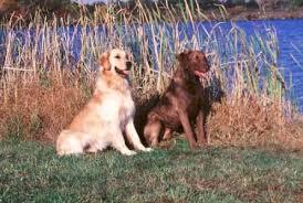 chesapeake bay retriever dog breeds galleries