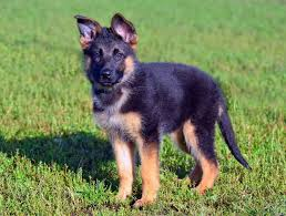 Shedding Blade German Shepherd by Puppy Has Dandruff And Dull Coat German Shepherd Dog Forums