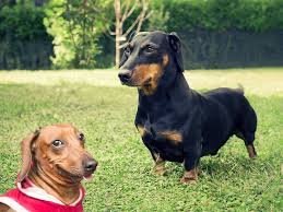 Do Miniature Pinschers Shed by 17 Small Dog Breeds What It U0027s Like To Own These Small Dogs