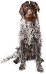 german shorthaired pointer shed german wirehaired pointer omg i really need one of these how