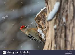 Male Red-bellied Woodpecker Clinging To Tree Trunk Stock Photo ... 2009 Peterbilt 367 For Sale In Pendleton Oregon Truckpapercom Freds Fire Truck Kiddie Ride Early Version This Ride R Flickr Garage Tech With Randy Rundle October 2015 Woody Woodpecker Engine Coin By Jolly Roger Youtube Timas Engine Made And Manufact Big Bend Boggswoodpecker Mud Bog Boggers Brawl Vol1 2018 Freightliner Pickup Cc Outtake The Ii At Work Eifs Armour On Twitter New Truck Wrap Looks Great Job Sites Female Downy Hears A While Eating Suet Driving Race Us Route 66 Tinylabkids