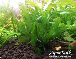 Bolbitis Mini Trichomanes Godmannii | Aquascape Plants | Pinterest ... 329 Best Aquascape Images On Pinterest Aquarium Ideas Floratic Visiting Paradise At Shah Alam Planted Aquarium Aquascape Things Aquariums Aquascaping Malaysia Diy Pertama Kali Aquascaping October 2010 Of The Month Ikebana Aquascaping World Sumida Aquarium Reloaded Fish Tanks And Designs Awesome A Moss Experiment Its All About Current Low Tech Tank Cuisine Wonderful Small Cubical Styles Planted The Surreal Submarine Amuse