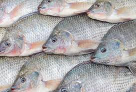 Nile Tilapia Shown In An African Market Are Increasingly Found Waters Throughout Sub