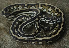Coastal Carpet Python Facts by 28 Coastal Carpet Python Facts Jungles Carpets Python And