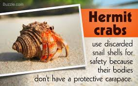 Do Hermit Crabs Shed by Incredibly Mind Blowing Facts About Hermit Crabs