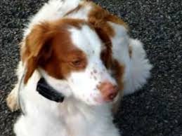 brittany spaniel playing at the park youtube