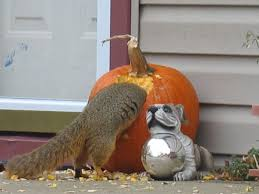 Can Bunny Rabbits Eat Pumpkin Seeds by How To Keep Squirrels From Eating Your Halloween Pumpkins Rocky
