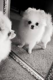 Do Pomskies Shed Fur by 443 Best Pomeranians Images On Pinterest Pomeranians Animals