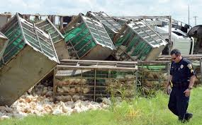 Hundreds Of Chickens Fly Coop After Slaughter-bound Truck Overturns ... News For Foodliner Drivers Alo Driving School 1221 W Airport Fwy Suite 217 Irving Tx Funeral Saturday At Sun Prairie High Captain Cory Barr Trucking Biz Buzz Archive Land Line Magazine Texting While Driving Wikipedia Hundreds Of Chickens Fly Coop After Slaughterbound Truck Overturns Trucker Supply Falling Short Demand 17 Towns In 2017 Big Cabin Provides Window To Trucking World Firefighter Killed In Gas Explosion Identified Fding Dangerous Trucks Can Be Inspectors Needleinhaystack Potato Mashed Under Train Overpass Milwaukee Wisc 160 Academy Truckersreportcom Forum 1 Cdl