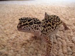 Do Leopard Geckos Shed by Leopard Gecko The Life Of Animals