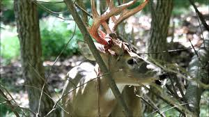 When Do Whitetails Shed Their Antlers by Whitetail Buck Shedding Antler Velvet Youtube