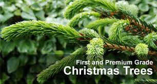 Nordmann Fir Christmas Trees Wholesale by Welcome To Trees For Christmas First And Premium Grade Christmas Trees