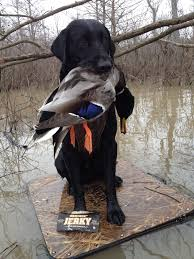 Chesapeake Bay Retriever Shed Hunting by Lily 1 5 Year Old Golden Retriever On Her First Duck Hunt Oct