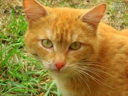 russian cat names yellow eyed mackerel tabby insolent cat russian cats pictures