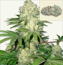 fin de floraison cannabis exterieur ak 47 graines à floraison automatique graines de cannabis à