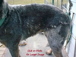 stop blue heeler shedding cattledog home of all things australian cattle