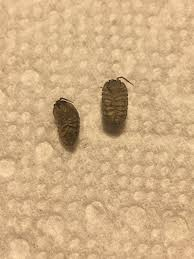 Cast Skin Bed Bug ID a isopods woodlice  Got Bed Bugs