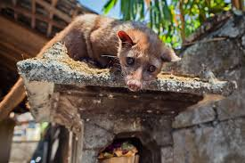 The Curious Case Of Kopi Luwak LOVEL Love To Travel