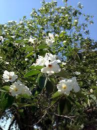 Blooming in White Heathcote Botanical Gardens