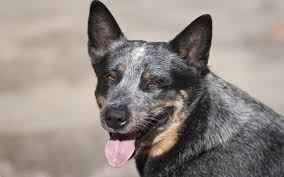 Blue Heeler Mix Shedding by Blue Heeler A Complete Guide To The Australian Cattle Dog