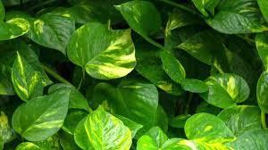 pflanzen für dunkle räume vivanno