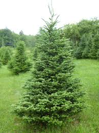 Balsam Christmas Trees by Tree Varieties Kenburn Orchards