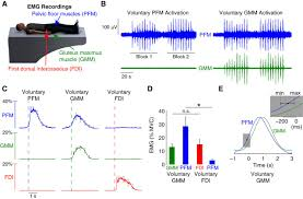 cortical activation associated with muscle synergies of the human